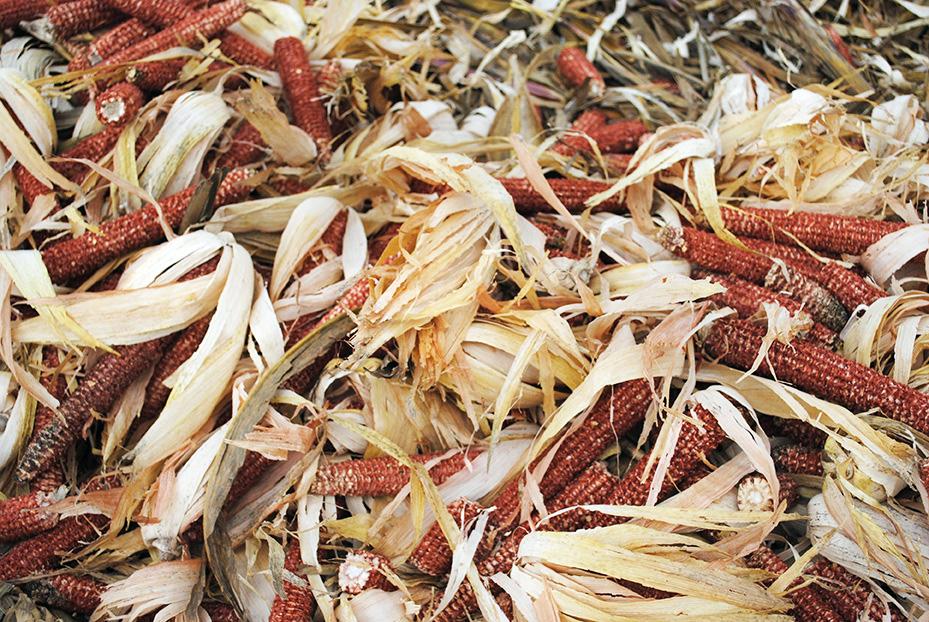 corn_harvest2