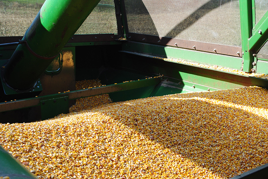 corn_harvest5